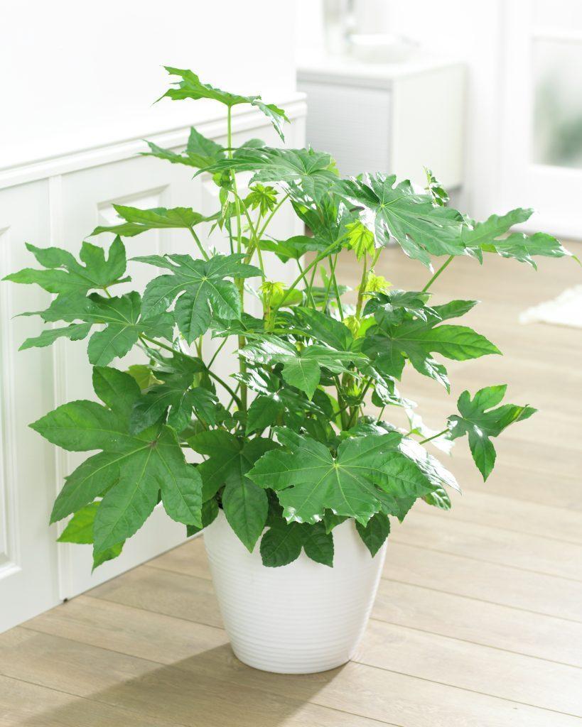 Домашнее растение Фатсия