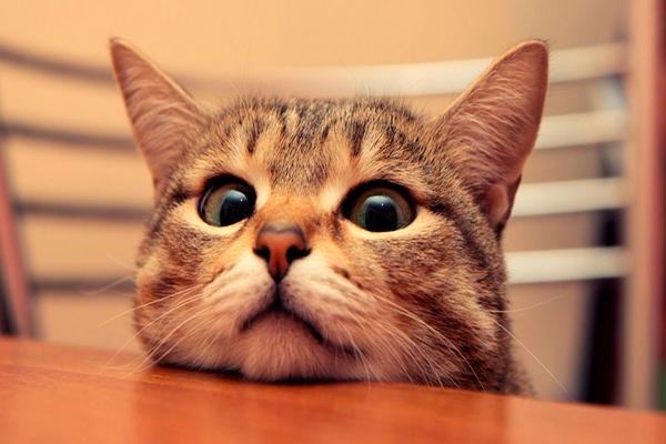 Чистка ушей кошки
